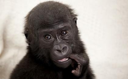 Baby gorilla Okanda travels with Stena Line to Europe