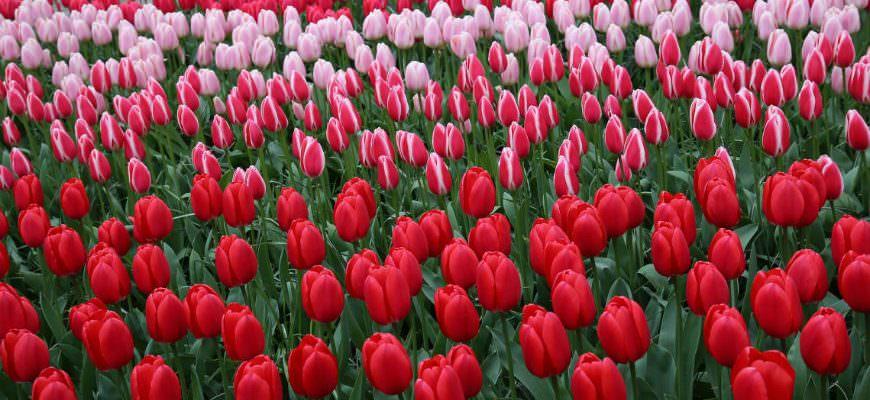 Keukenhof gardens in bloom in spring in Holland